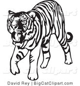 Big Cat Vector Clipart of a Walking Black and White Tiger on White by David Rey