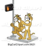 Vector Clipart of a Cartoon Bobcat School Mascot Stopping Another from Using a Crosswalk at the Wrong Time, Symbolizing Safety by Toons4Biz