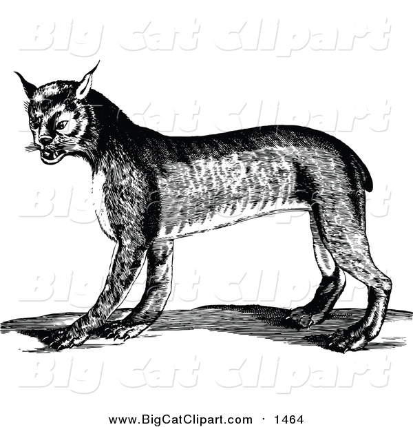 Big Cat Vector Clipart of a Black and White Bobcat